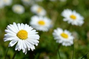 Seminar Heilpflanzen für Haut und Sinnesorgane (Gänseblümchen)